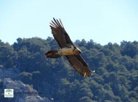 Medio Ambiente libera 53 quebrantahuesos en el marco del programa de reintroducción de la especie en Andalucía